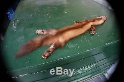 Marten pelt pro tanned Mountable taxidermy wild fur WY Wind River range Quality