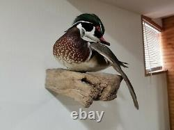 Museum Quality Wood Duck professional Taxidermy with driftwood piece, free ship